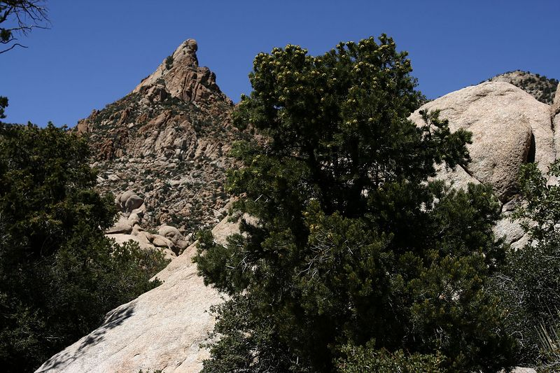 Note the explosion of pine cones at the top of Pinon Pine. Pine nuts aplenty this autumn!