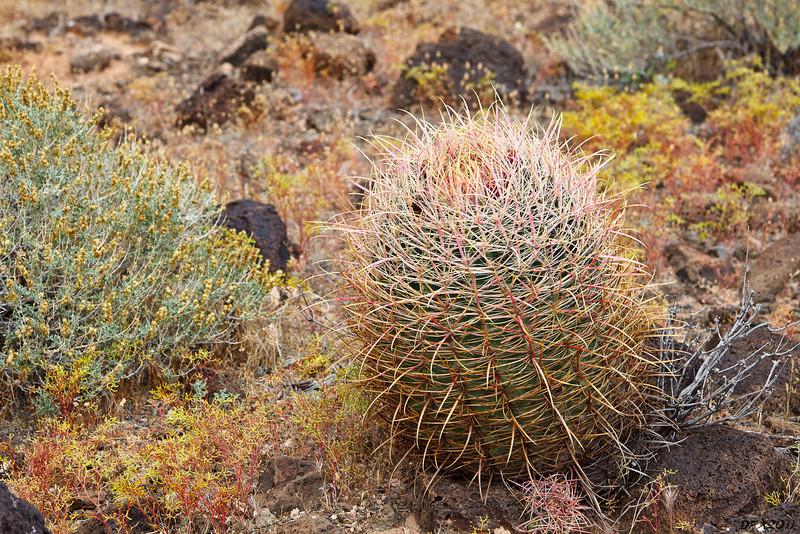 Fat barrel cactus