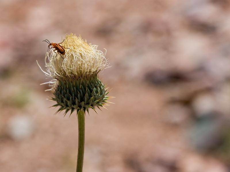 A beetle feeding on a thistle