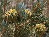 Pinion Pine cones