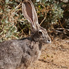 Blacktailed Jackrabbit
