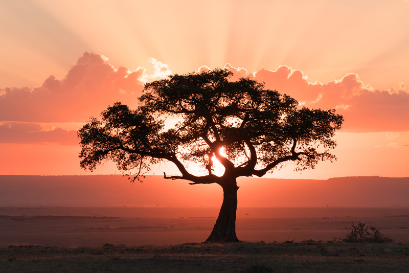 A lone juniper tree on the Maasai Mara in Kenya.