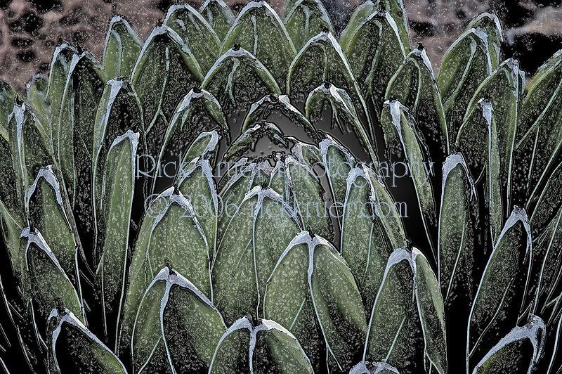 White tipped Agave (watercolor special effects) (ND70_2005-04-09DSC_1268-WhiteTippedAgave-3-watercolor.jpg)