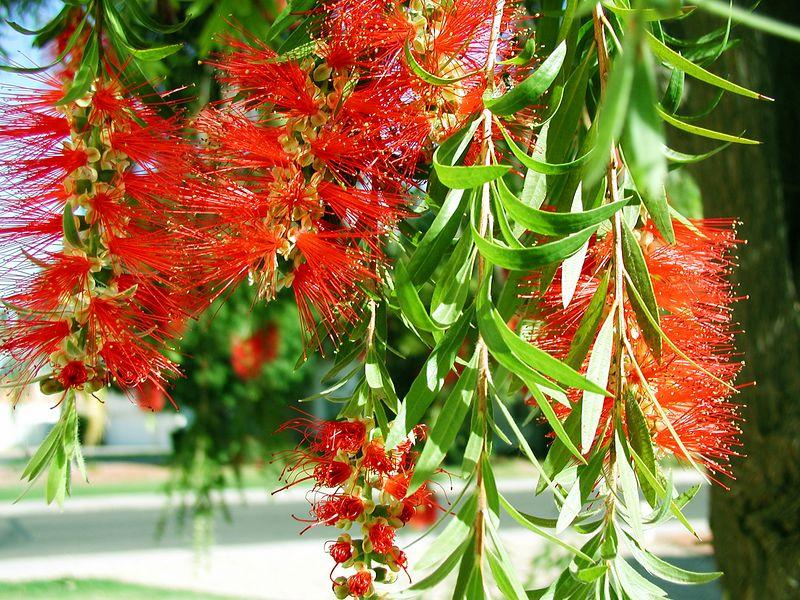 Arizona Bottlebrush Tree in spring (P3272317-AZSpring-BottlebrushTree-3 copy.jpg)