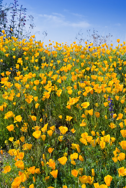 Wildflowers (Mexican Poppies) in the Arizona Spring Desert<br /> Salt River and Beelline Highway, Mesa, Arizona<br /> March 13, 2010<br /> <br /> Copyright © 2010 Rick Kruer<br /> rickkruer.com<br /> <br /> D200_20100313_1542_DSC_3722-WildflowersTall-9of10-2.psd