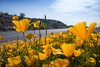Wildflowers (Mexican Poppies) in the Arizona Spring Desert<br /> Salt River and Beelline Highway, Mesa, Arizona<br /> March 13, 2010<br /> <br /> Copyright © 2010 Rick Kruer<br /> rickkruer.com<br /> <br /> D200_20100313_1517_DSC_3547-WildflowersReachingForSun-nice-2.psd