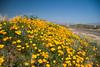 D200_20100313_1508_DSC_3412-WildflowersBeelineHwy-nice-2