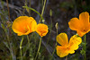 Wildflowers (Mexican Poppies) in the Arizona Spring Desert<br /> Salt River and Beelline Highway, Mesa, Arizona<br /> March 13, 2010<br /> <br /> Copyright © 2010 Rick Kruer<br /> rickkruer.com<br /> <br /> D200_20100313_1526_DSC_3657-WildflowersCloseupHeadon-nice-2.psd
