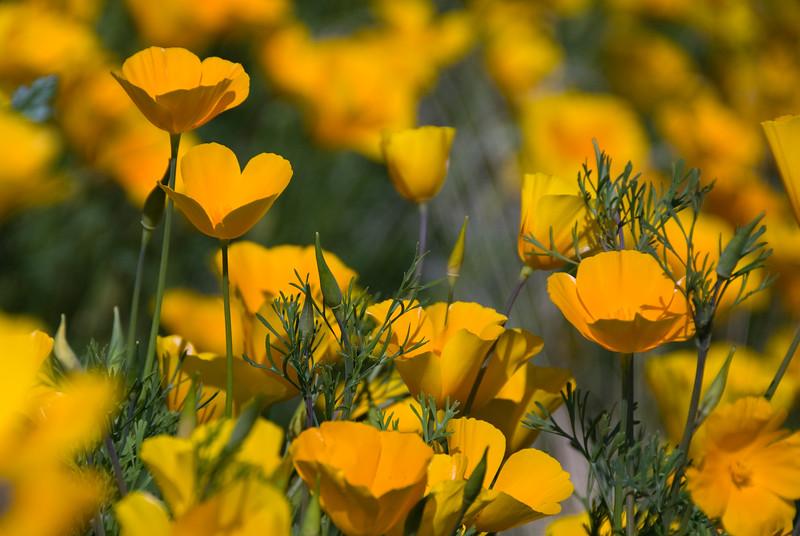 D200_20100313_1509_DSC_3415-WildflowersCloseup-nice-3