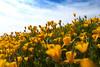 "Wildflowers (Mexican Poppies) in the Arizona Spring Desert ""Reaching for the Sun""<br /> Salt River and Beelline Highway, Mesa, Arizona<br /> March 13, 2010<br /> <br /> Copyright © 2010 Rick Kruer<br /> rickkruer.com<br /> <br /> D200_20100313_1542_DSC_3724-WildflowersReachingSun-nice-2.psd"