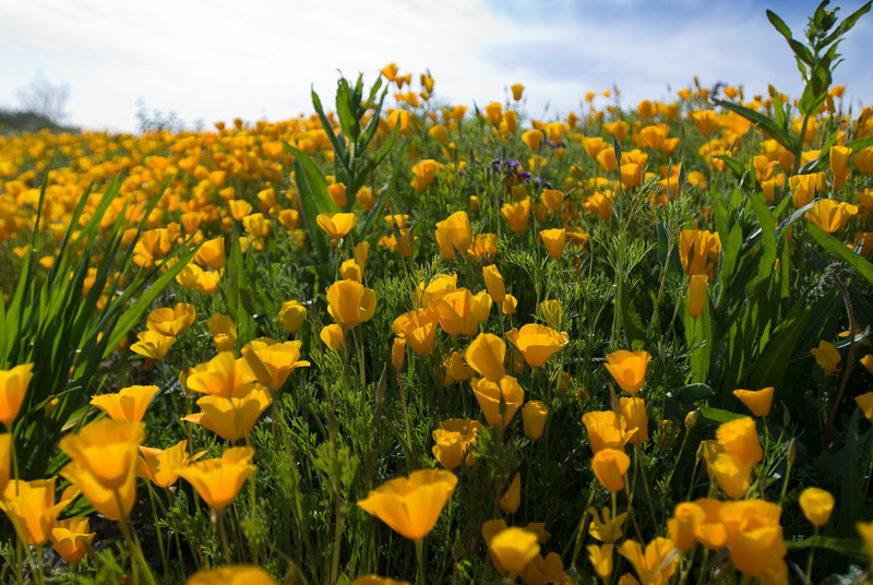 Wildflowers (Mexican Poppies) in the Arizona Spring Desert<br /> Salt River and Beelline Highway, Mesa, Arizona<br /> March 13, 2010<br /> <br /> Copyright © 2010 Rick Kruer<br /> rickkruer.com<br /> <br /> D200_20100313_1544_DSC_3747-WildflowersEverywhere-nice-2.psd
