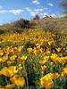 P3092708-WildflowersFieldTall-niceJPG