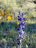 P3092675-WildflowersPurpleCloseup-niceJPG