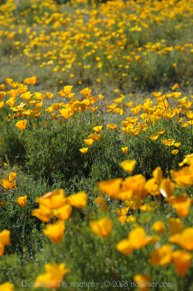 ND70_2008-03-09DSC_7549-WildflowersMediumSunTall-nice