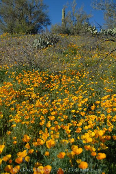 D200_2008-03-09DSC_5315-WildflowersSaguaroTall-nice