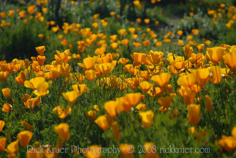 D200_2008-03-09DSC_5300-WildflowersDesertCloseup-nice