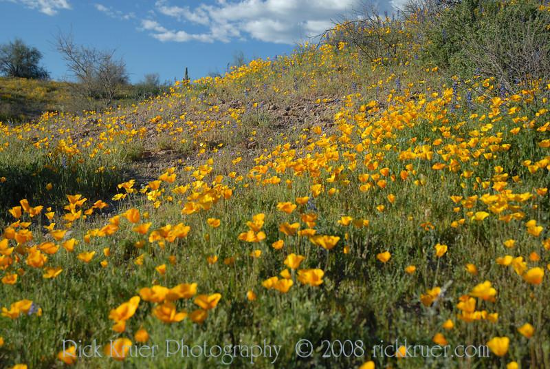 D200_2008-03-09DSC_5307-WildflowersDesertFieldWide-nice