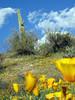 P3092661-WildflowersDOFSaguaro-niceJPG