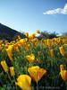 P3092700-WildflowersCloseupTall-niceJPG