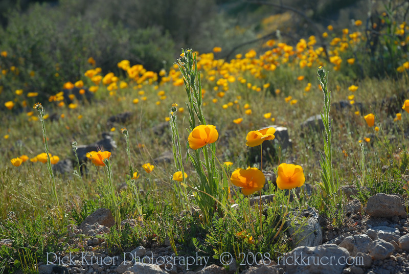 D200_2008-03-09DSC_5344-WildflowersCloseupSunWide-nice