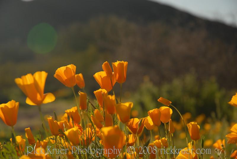 D200_2008-03-09DSC_5372-WildflowersDesertSunCloseup-nice