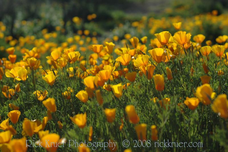 ND70_2008-03-09DSC_7541-WildflowersCloseup-nice