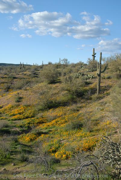 D200_2008-03-09DSC_5320-WildflowersDesertSaguaroTall-nice