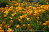D200_2008-03-09DSC_5301-WildflowersDesertCloseup-nice