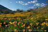 D200_2008-03-09DSC_5295-WildflowersDesertWide-nice