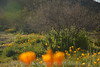 D200_2008-03-09DSC_5366-WildflowersDesertSun-nice