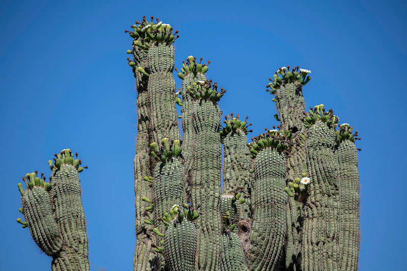 Saguaros flowering