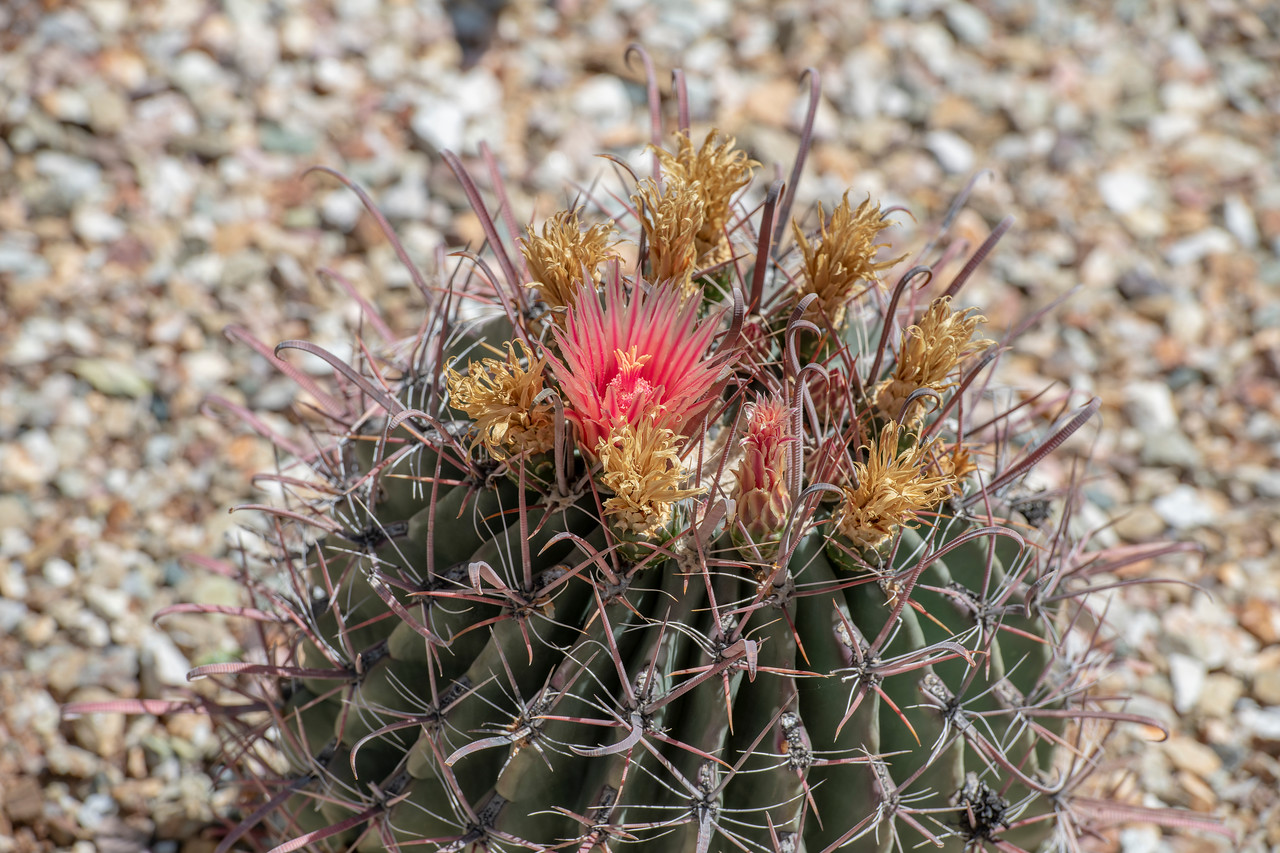 Cactus bloom.