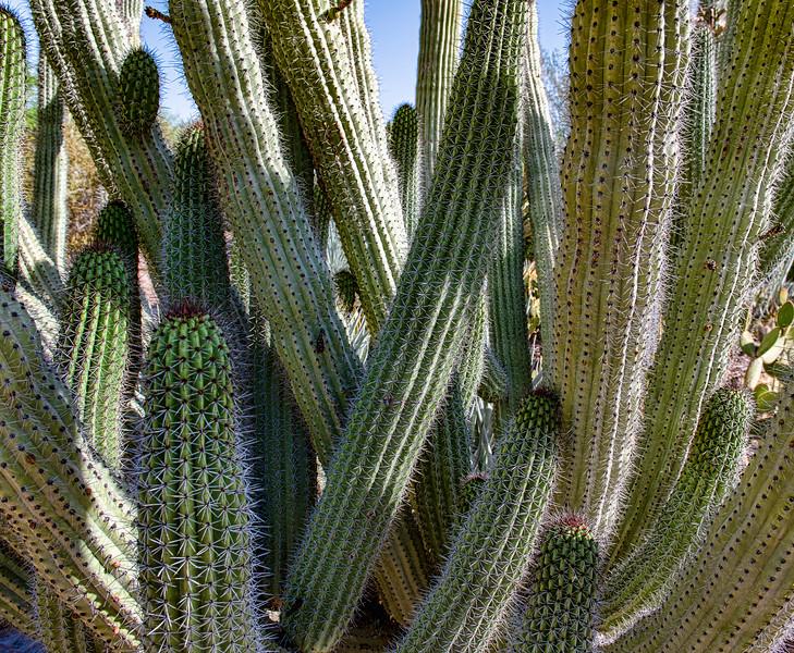 Dense Cactus