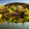 Saguaro Reflection