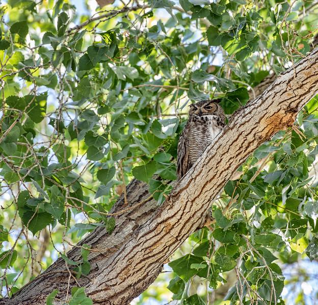 Grey owl at the Botanical Gardens, Phoenix.