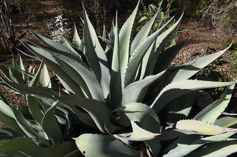 Aloe cactus