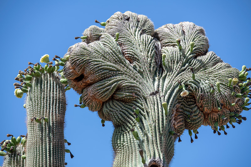 Unusual Saguaro.