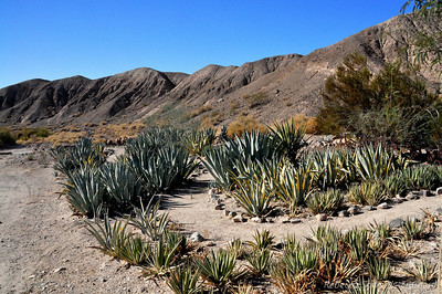 Agave field at the Date Farm