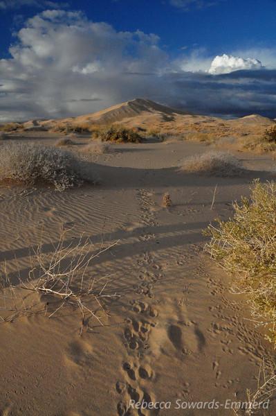 Critter prints heading towards the dunes