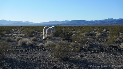 The next morning we leave camp to go climb Eagle Peak and see the Amargosa Wild Horses on the way there.