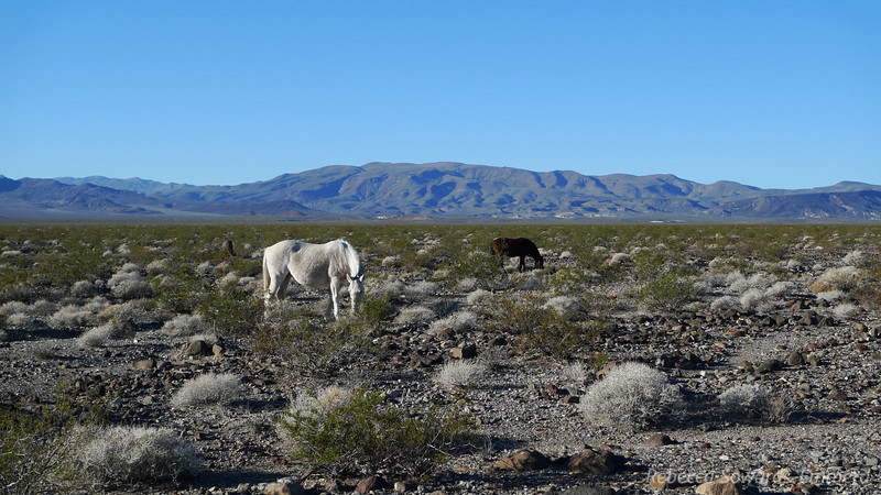 A couple of the wild horse herd.