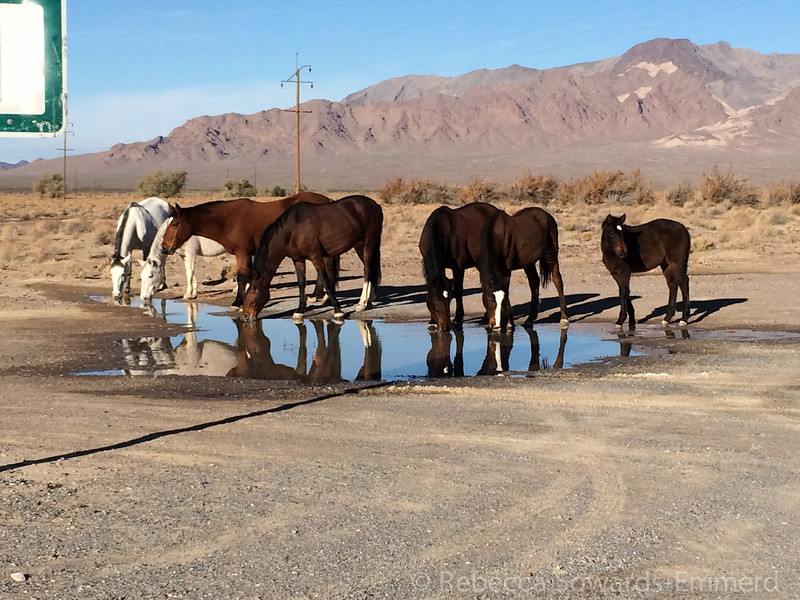 We saw the Amargosa wild horse herd taking advantage of the recent precip in Death Valley Junction.
