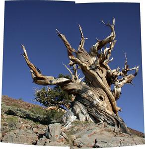 Bristlecone Pine