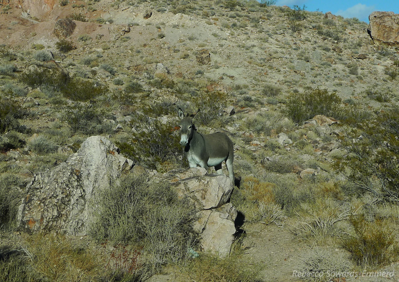 Yet another burro - all over the place out here!