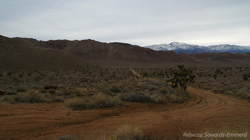 Joshua Tree forest in Cactus flat