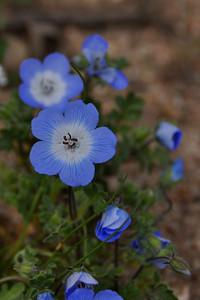 Baby blue eyes  Name: Baby Blue Eyes (Nemophila menziesii) Location: Carrizo Plain National Monument Date: March 21, 2009
