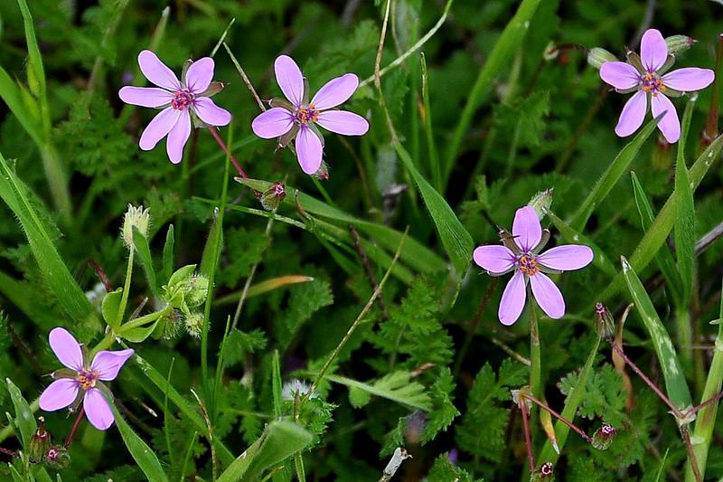 Name: Filaree (Erodium cicutarium)<br /> Location: Carrizo Plain National Monument<br /> Date: March 22, 2009