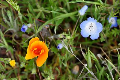Poppy and Baby Blue Eyes  Name: Baby Blue Eyes (Nemophila menziesii) Name: California Poppy (Eschscholzia californica) Location: Carrizo Plain National Monument Date: March 21, 2009