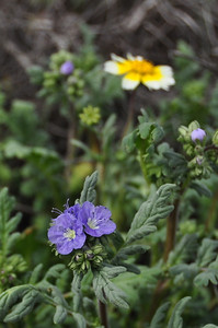 Name: Tansy phacelia (Phacelia tanacetifolia) Location: Carrizo Plain National Monument Date: March 21, 2009
