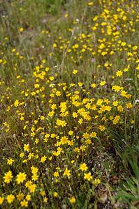 Goldfields  Name: California Goldfields (Lasthenia californica) Location: Carrizo Plain National Monument Date: March 21, 2009